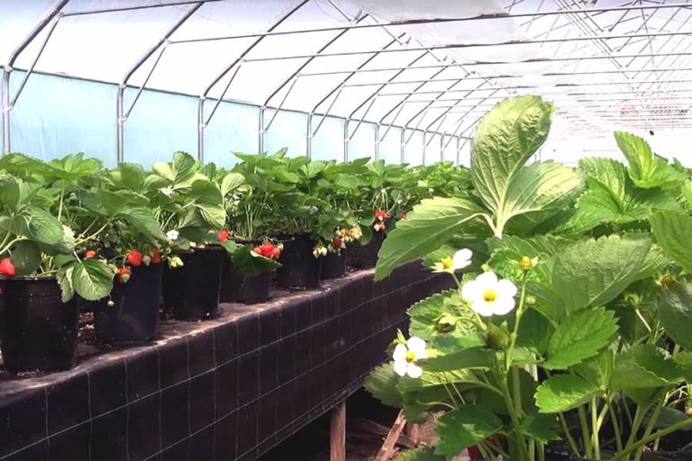 Выращивание земляники и клубники круглый год 68