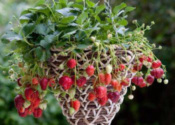Тепличное выращивание клубники вертикальным способом