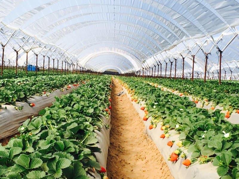 Технология выращивания клубники в теплице 79