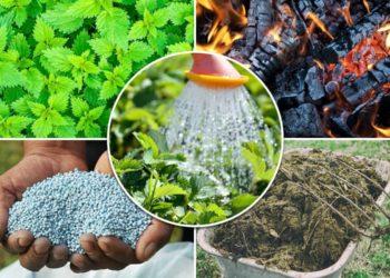Королева грядок в теплице: общие советы и рекомендации по выращиванию клубники