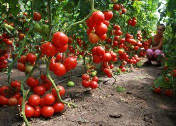 Рекомендации по повышению урожайности томатов с помощью минеральных удобрений