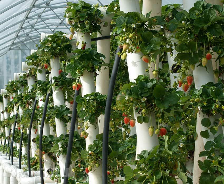 Технология выращивания клубники в теплице 81