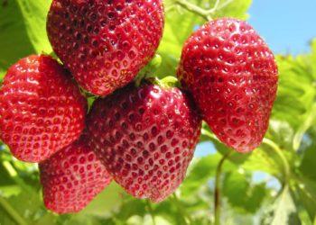 Выращиваем клубнику ремонтантных сортов в теплице: рассада, выбор грунтовой смеси, питание, особенности ухода