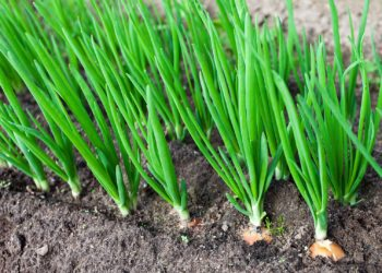 Подкормка зеленого лука: Вашему урожаю будут завидовать