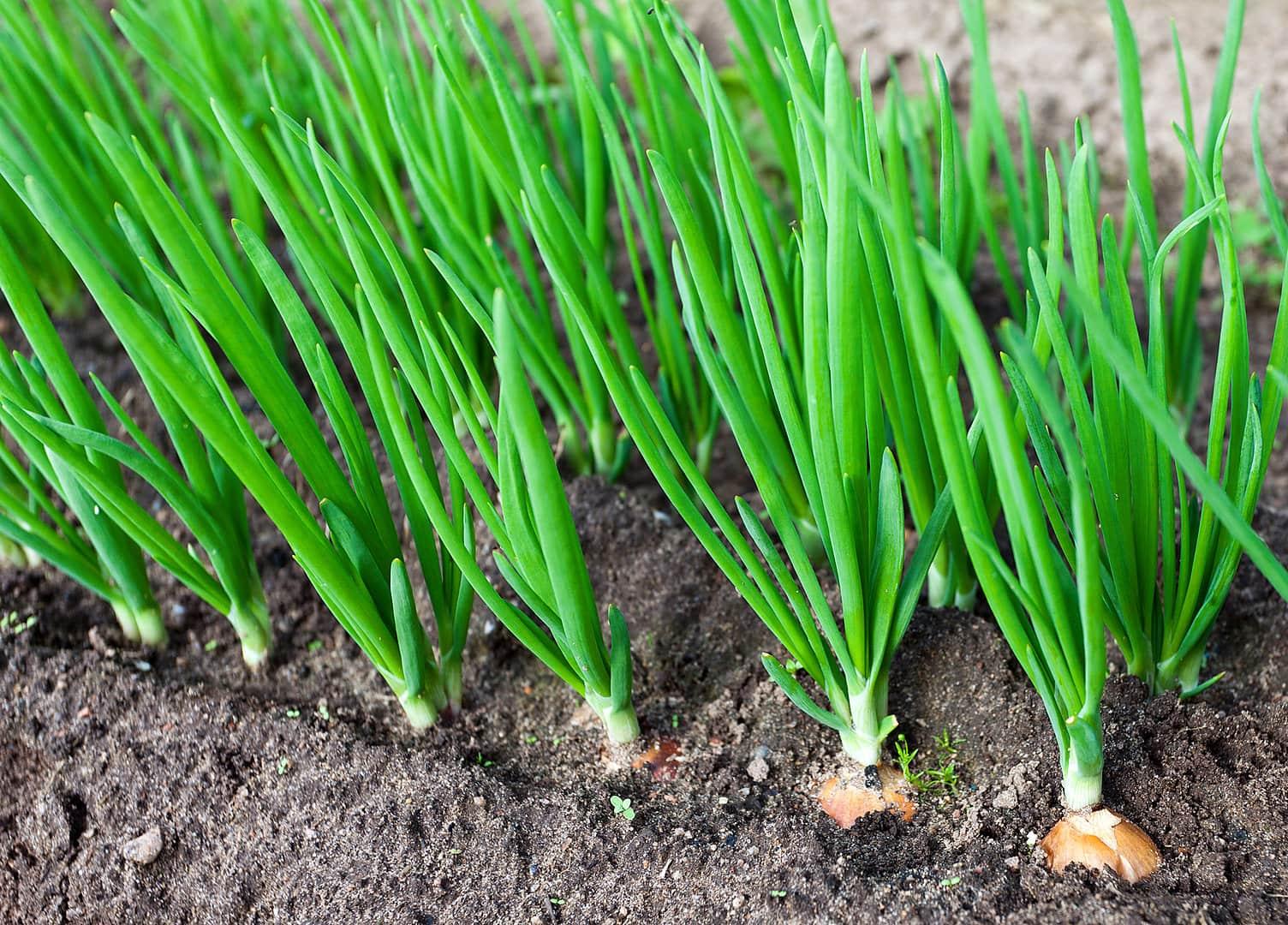 Выращивание лука в северных регионах 48