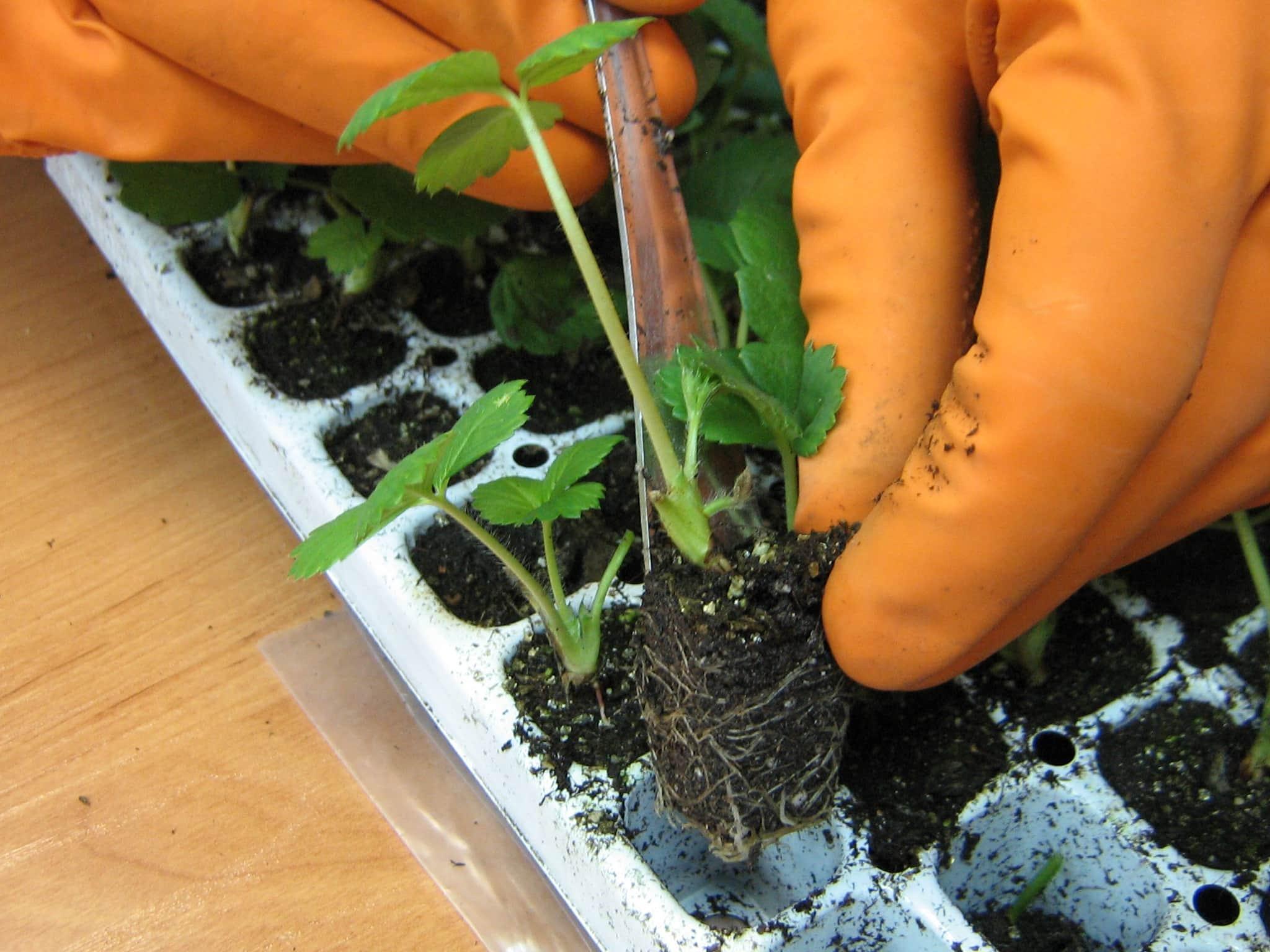 Как сажать клубнику на рассаду фото