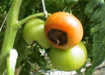 Внекорневая подкормка рассады помидоров: что собой представляет, зачем и какими составами проводится?