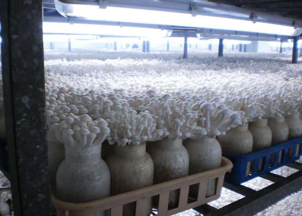Технология выращивания шампиньонов в 60