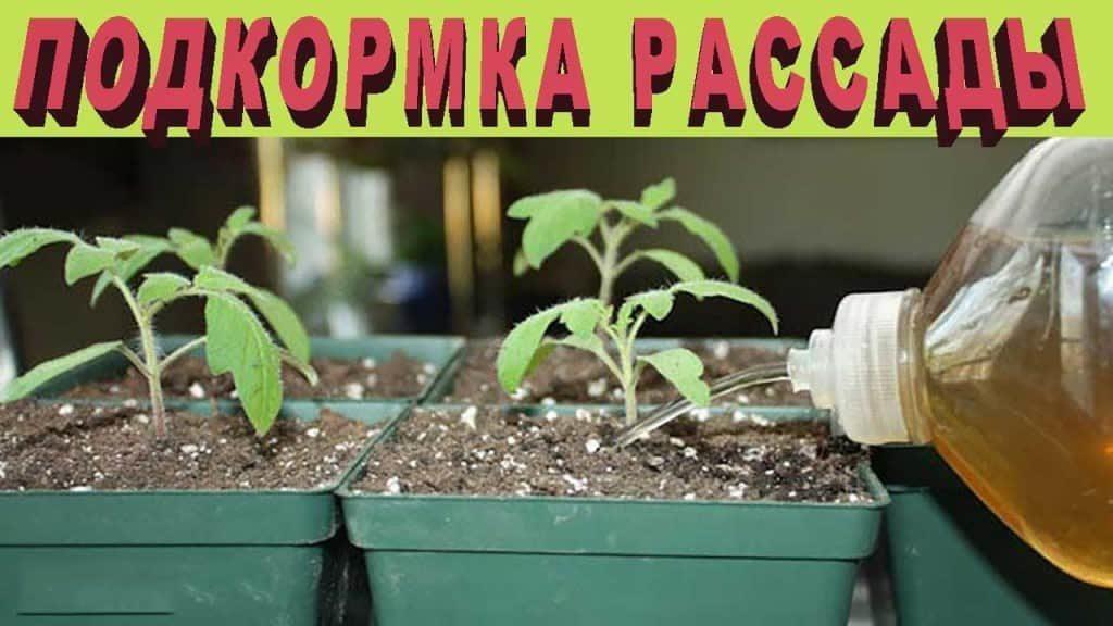 Чем поливать рассаду помидоров 708