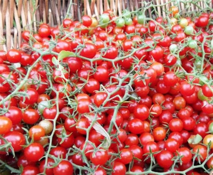 Как сделать дрожжевую подкормку для томатов