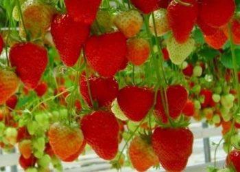 Еще один секрет богатого урожая клубники: организация теплицы