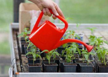Правильная подкормка перцев – залог богатого урожая