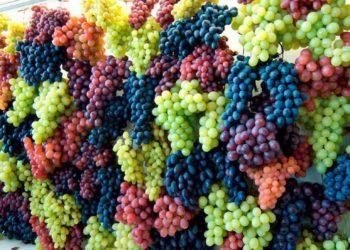 Весной подкормка винограда: особенности
