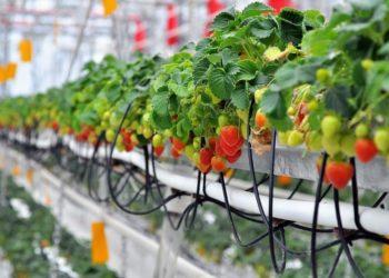 Голландская технология выращивания клубники в теплицах