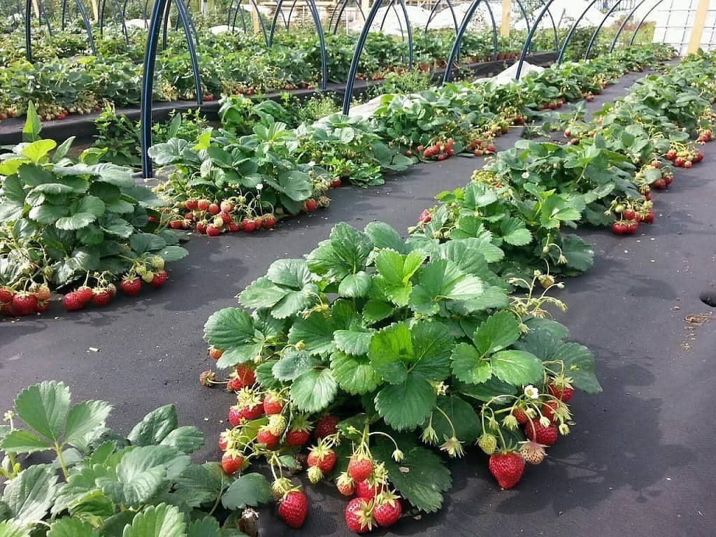 Картинки по запросу Как получить богатый урожай клубники