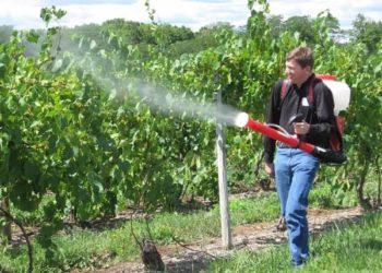 Подкормка винограда после цветения: для улучшения показателей урожайности