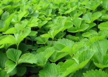 Какие подкормки нужны рассаде земляники для благополучного развития и хорошего урожая?