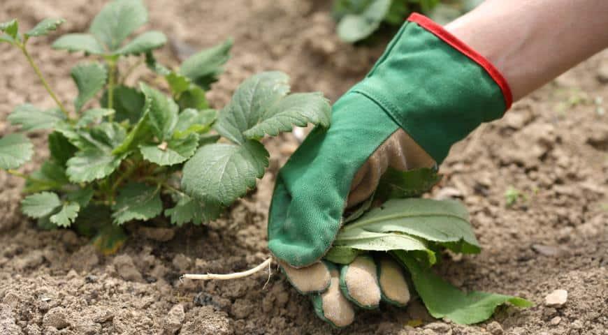 Какие сорта ремонтантной клубники выращивают в теплице?