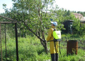 Подкормка вишни весной: закладываем хороший урожай заранее