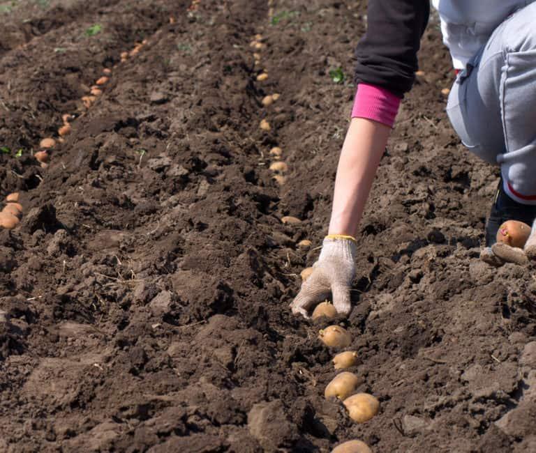 Как сажают картошку в подмосковье 321