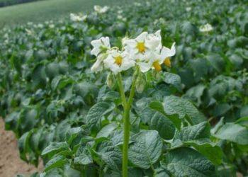 Подкормка картофеля мочевиной: секретная методика получения высокого урожая