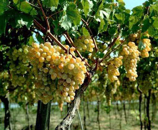 Лучшие микроудобрения для винограда. Удобрения для винограда