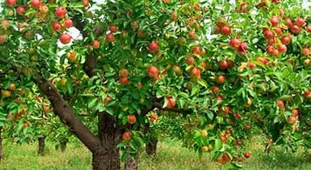 Подкормка яблонь весной и осенью, советы по обрезке и поливу