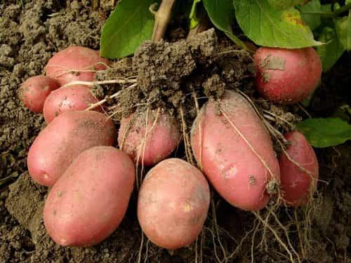Удобрение «Кемира» для картофеля