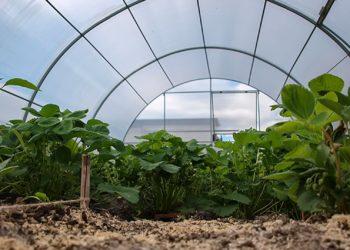 Выращивание клубники в поликарбонатной теплице