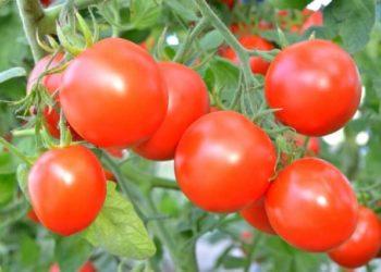 Селитра для томатов – решение проблем