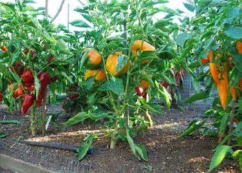 Как пикировать рассаду перца и чем лучше его подкормить