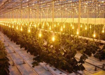 Выращивание клубники в теплице: возможности и основные моменты данного процесса