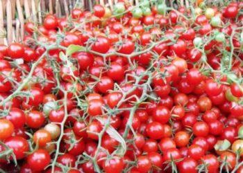 Как и сколько раз подкармливать томаты дрожжами?