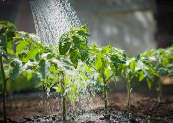 Подкормка помидоров с помощью дрожжей: особенности