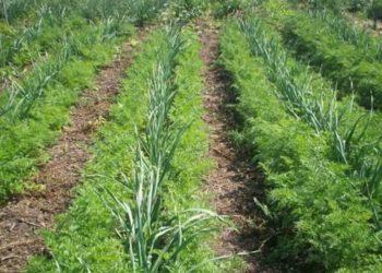 Как удобрять чеснок весной для хорошего урожая?