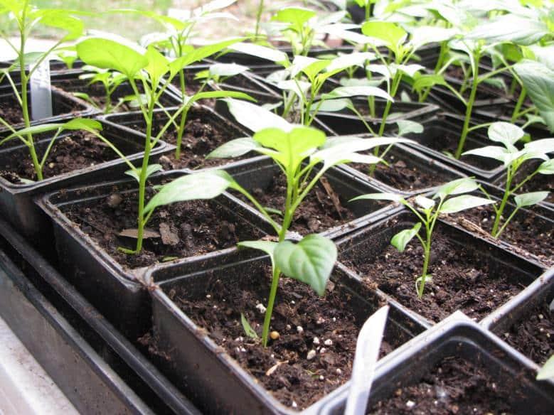 Правильный уход за рассадой перца