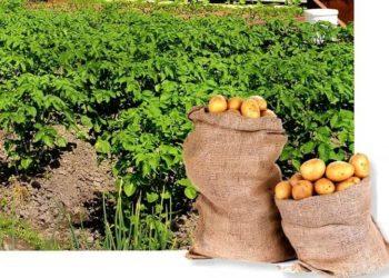 Картофель в навозе: технология которая позволяет получать высокий урожай