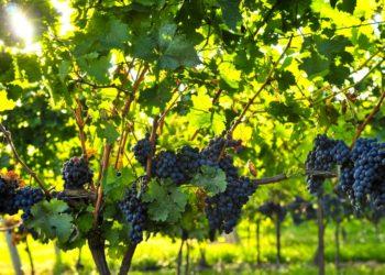Подкормка саженцев винограда — основные рекомендации
