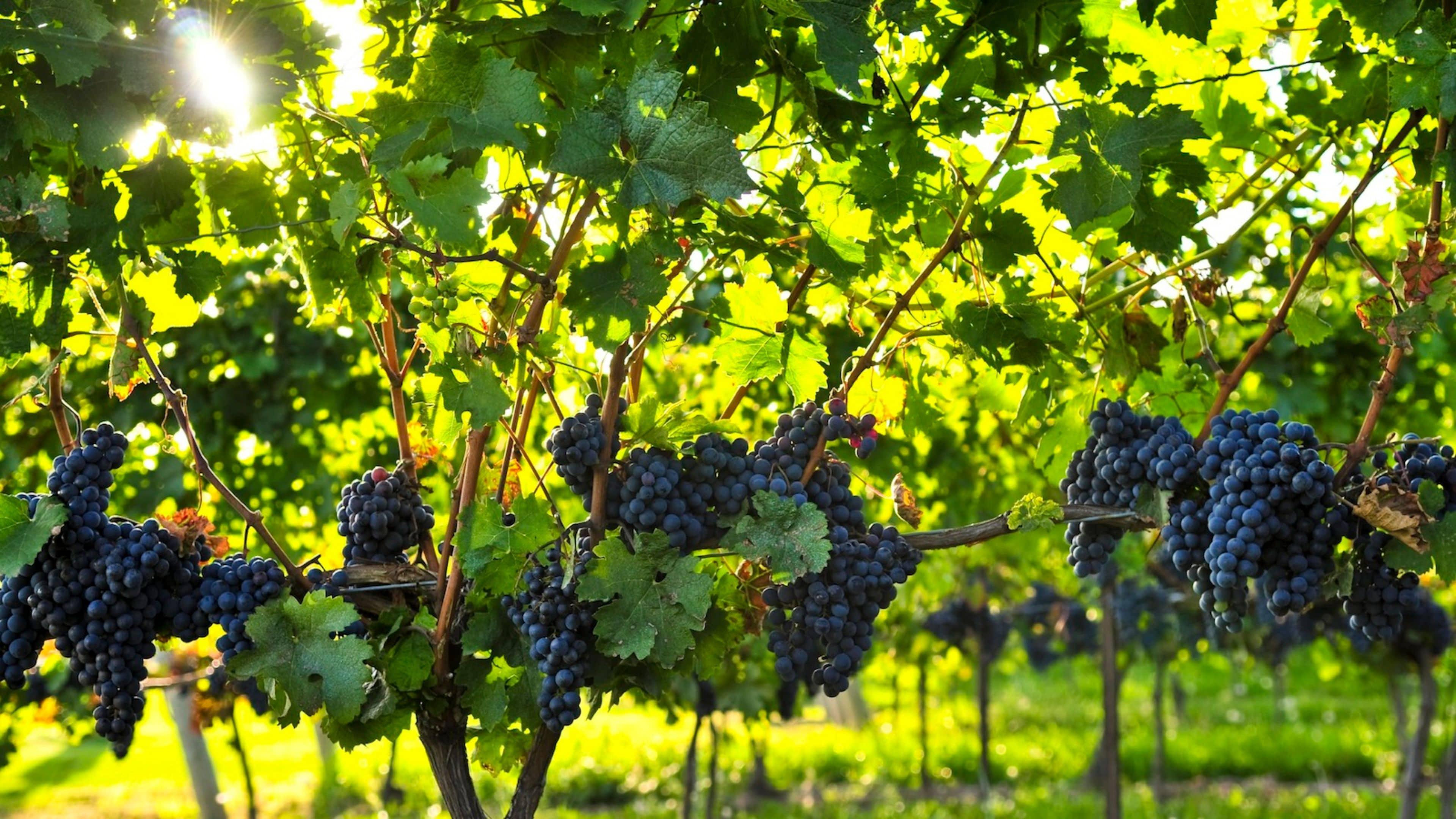 Удобрения для винограда подкормка корневая внекорневая признаки нехватки