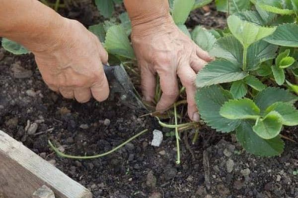 Как проводится подкормка клубники во время цветения