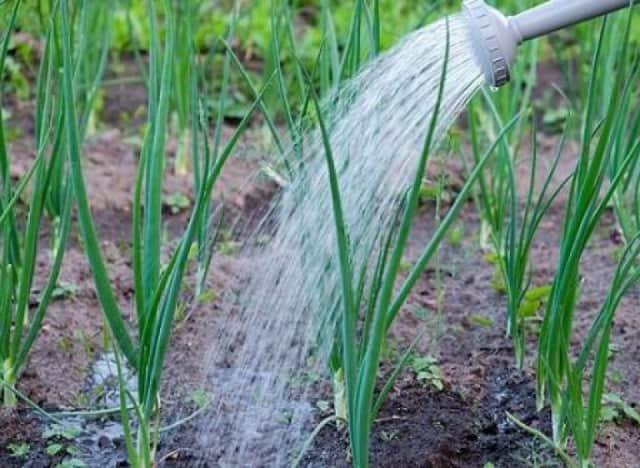Подготовка лука севка, семейного для посадки, посадка лука весной в открытый грунт на головку и перо: сроки, описание технологии. В чем замочить лук перед посадкой весной: рецепт