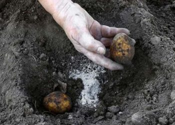 Весенняя подкормка картофеля удобрениями