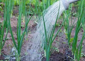 Как правильно удобрять лук весной после посадки и озимый?